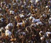 cotton stalk